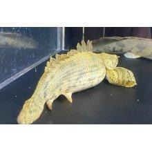 他の写真2: ポリプテルス エンドリケリーショート 20cm±