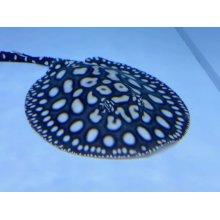 他の写真3: 国産ダイヤ(ウララパパダイヤ)18cm±♂